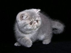 hoping to adopt an exotic shorthair kitten in the upcoming months - so reading everything about the breed. look at that face!