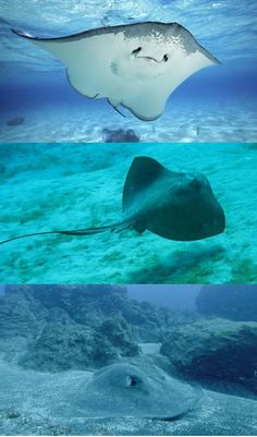 Monstrous 'Alien' Stingray With Knife-Like Barb Fatal To Humans Caught On Camera By Brave Diver #sea #world #monstrous