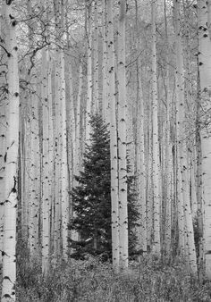 Evergreen tree forest nature Ideas for 2019 Aspen Trees, Birch Trees, Tree Forest, Birch Forest, All Nature, Pictures To Paint, Painting Pictures, Tree Of Life, Belle Photo