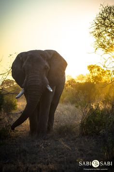 A beautiful sight watching this large elephant bull feeding with the African sunset behind him.