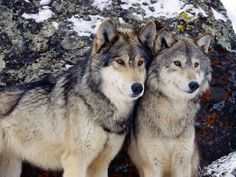 grey+wolf+pictures | gray wolves