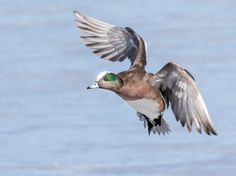 American Wigeon, Drake Photo by Jerry am Ende — National Geographic Your Shot