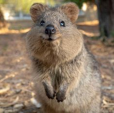 Quokka appreciation post because theyre adorable via aww on May 28 2019 at Happy Animals, Cute Funny Animals, Animals And Pets, Quokka Animal, Australia Animals, Cute Cats And Dogs, Cute Animal Pictures, Funny Animal Videos, Animal Rescue Shelters