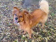 Badger, a 5 year old Pomerussel from Ealing. Loves chasing pigeions and playing hide and seek with her family. Pedlars 103rd Dog of the Week.