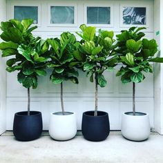 46 DIY Plant Stand ideas to Fill Your Living Room With Greenery These trendy Home Decor ideas would gain you amazing compliments. Check out our gallery for more ideas these are trendy this year. House Plants Decor, Plant Decor, Outdoor Plants, Outdoor Decor, Indoor Floor Plants, Large Indoor Planters, Fiddle Leaf Fig Tree, Fig Leaf Tree, Decoration Plante