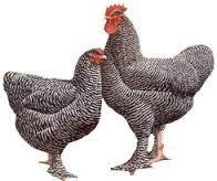 Poularde de Bruxelles. Deze aanzienelijke kip is een grotere, oudere vogel uit de familie van de Coucou de Malines