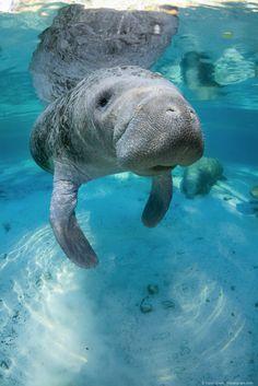#Underwater manatee gallery by Carol Grant.
