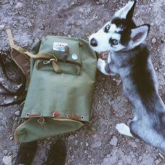 husky pup #WildTraveller