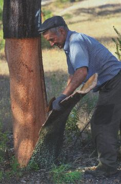 Harvesting bark from a cork tree. This is where cork comes from.the bark will grow back with in ten years.
