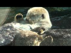 Otters holding hands video #2   'Holding hands in the sun'