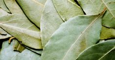 The Bay Leaf Plant is a lovely evergreen small tree or shrub for your containers or garden. Grow a Bay Laurel Tree if you like cooking with its aromatic leaves! Bay Leaf Plant, Bay Leaf Tree, Plant Leaves, Bay Trees, Cockroach Repellent, Mice Repellent, Getting Rid Of Moths, Getting Rid Of Mice, Magic Herbs