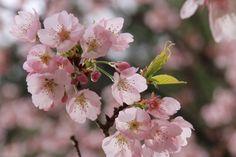 210:「築山の寒桜に小鳥のさえずり、春が来ました!」@神代植物公園