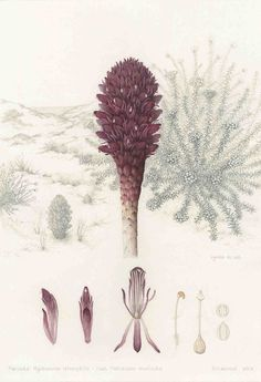 Lynda de Wet Botanical Artist - My blog update on current Botanical Art project Botanical Illustration, Botanical Prints, Watercolor Illustration, Watercolor Paintings, Inspiration Artistique, Nature Illustrations, Graphite Drawings, Plant Species, Contemporary Paintings