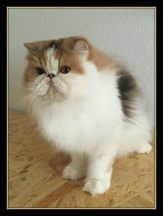 Sedoso's Bonita of Sweetharmony, PER brown patched tabby white - © picture Sweetharmony's Persians & Exotic Shorthair