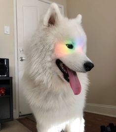 If these 302 Samoyed photos don& make you smile, nothing will - Fav . - Animals - If these 302 Samoyed photos don& make you smile, nothing will – Fav – # bring - Cute Little Animals, Cute Funny Animals, Pet Puppy, Dog Cat, Samoyed Dogs, Cute Dog Pictures, Dog Wallpaper, Cute Dogs And Puppies, Doggies