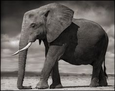 YOUNG ELEPHANT RESTING, AMBOSELI 2011