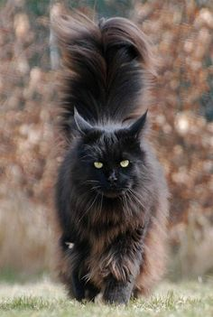 "A MOST POPULAR RE-PIN > Maine Coon - with fluff tail & same attitude as my JeSuis. RESEARCH #DianaDee:) - BIG CATS LITTLE CATS - https://www.pinterest.com/DianaDeeOsborne/big-cats-little-cats/ - Among most intelligent domesticated felines, 1 of oldest natural breeds in North America. First recognized as a specific breed in Maine: Official state cat. #HUMOR : Called ""The dogs of the cat world"" because most love people! Males weigh 21- 35 pounds, females ""only"" 15- 29. Average cat is 8- 10 pou"