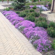 Phlox subulata, pinus mugo mughus. Флоксы цветут на одном из небольших объектов. Ландшафт СпецПакДизайн. Mugo Pine, Sidewalk, Gardening, Instagram Posts, Ideas, Plants, Walkways, Lawn And Garden, Thoughts