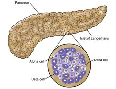 The islets of Langerhans of the pancreas