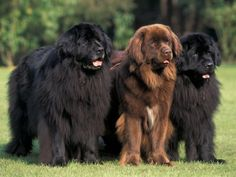 They're just like big teddy bears #newfoundland #bigdog #adorable