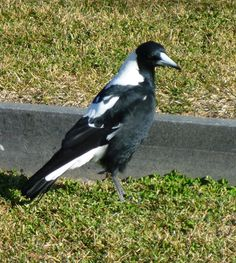 An Australian Magpie, famous for dive bombing passers by during Spring when they're raising chicks. (They would literally attack you to defend their area)