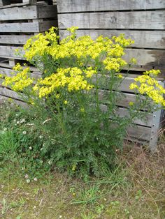 Ragwort flower