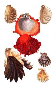Les #coquillages : huitre, spondyle, lime... #Mollusques aquatiques pourvus d'une coquille qui correspond au squelette externe de l'#animal #numelyo #bestiaire