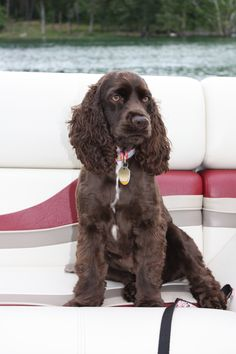 Wendy, the chocolate cocker spaniel