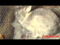 Bunny Rabbit giving birth ☆ Animals Giving Birth
