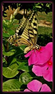 https://flic.kr/p/wLEVmc | Macaone (Papilio Machaon Linnaeus)