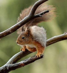 "A Squirrel:  ""Just Branching Out."""