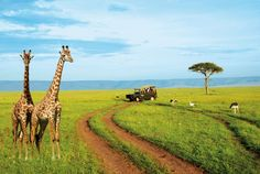 Take me down to the paradise city where the grass is green and the giraffes are pretty! :)