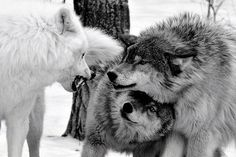 Look! A male wolf protecting his mate from a stranger wolf that's snarling at them!!!