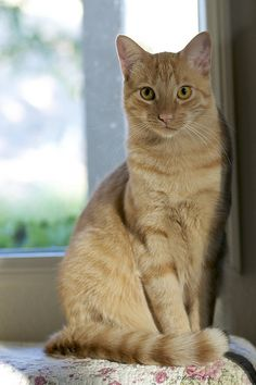Horatio HoratioIn cat<br> Youngest of my furry kids. Cute Cats And Kittens, I Love Cats, Crazy Cats, Kittens Cutest, Ragdoll Kittens, Funny Kittens, Bengal Cats, Pretty Cats, Beautiful Cats