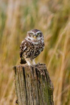 Little Owl (Athene noctua) by Andrew Bertram on 500px