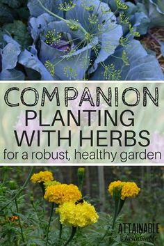 Companion planting is growing specific herbs, flowers, fruits, and vegetables in close proximity to each other, enhancing the growth of both plants. Here's how to get started companion planting with herbs in your vegetable garden. #IndoorGarden