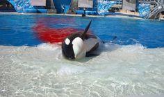 Killer Whale Death - Bing Images