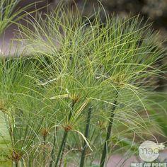 Cyperus Papyrus : conteneur 5L