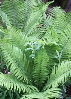 Ostrich Fern for sale buy Matteuccia struthiopteris 'The King'