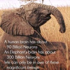 Elephants are one of the smartest creatures on earth Elephant Brain, Elephant Facts, Elephant Love, Elephant Spirit Animal, Elephant Walk, Animals And Pets, Baby Animals, Funny Animals, Cute Animals