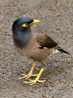 Small Birds, Colorful Birds, Pretty Birds, Beautiful Birds, Australia Animals, Brown Bird, Australian Birds, Funny Birds, Exotic Birds