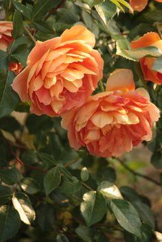 English Shrub Rose: Rosa 'Pat Austin' (U.K., before 1993)
