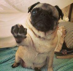 pewdiepie pug maya and edgar | PewDiePie's Dog Maya and ...