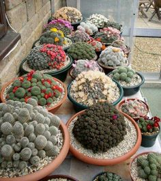 Mixed Cactus bonsai Indoor Multifarious Ornamental Plants bonsai Rare Succulents Flower bonsai Can Purify The Air For Jardin 100 Cacti And Succulents, Planting Succulents, Planting Flowers, Air Plants, Garden Plants, Indoor Plants, Potted Garden, Indoor Cactus, House Plants