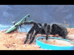 Large tarantula vs Praying Mantis Tarantula vs Praying Mantis shows reaction of Praying Mantis after being attacked by the Giant Tarantula. Small Snakes, Praying Mantis, Vertebrates, Wild Nature, Wild Animals, Predator, Habitats, Pets, Wild Ones