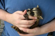 21 Raccoons Who Will Show You What It Means To Be Cute