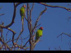 Plum-headed Parakeet (Male & Female) Birds