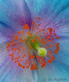 Himalayan Blue Poppy by Jo Walter