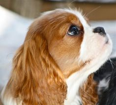 Blenheim Cavalier King Charles spaniel puppy - - LOVE!