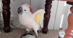 This little cockatoo is full of life, but then mom and dad tell him that he& going to the most dreaded place of all - the vet. Funny Talking, Cockatoo, Cute Gif, Friend Pictures, Beautiful Dogs, Bird Feathers, To Go, Cute Animals, Hilarious